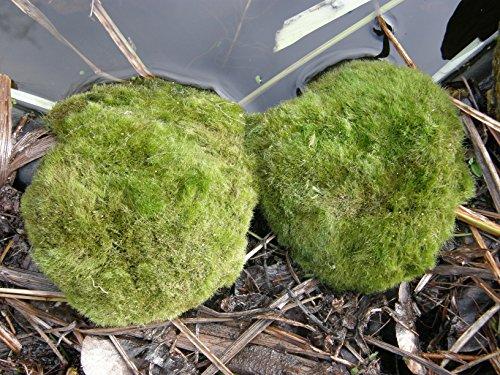 Mühlan – 5 x winterharter Teichrasen, jede Matte mind. 5×7 cm, Gegen Algen und Schmutz, Unterwassergras, Moos, Begrünung des Teichrandes, Unterwasserrasen - 4