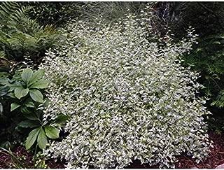 1 Plant Very Beautiful Caryopteris Snow Fairy Variegated Blue