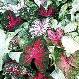 Great Price, (10) Caladium Spectacular Mixed Colors, Elephant Ears, Small Bulbs, Root, Rhizome, Plant, Perennial