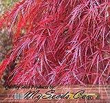 (10) la hoja de arce roja del cordón - Acer palmatum atropurpureum Semillas Dissectum