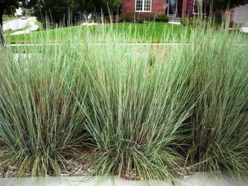 50+ barbon Seed - Saison chaude indigène Herbe