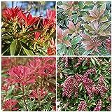 4 Plant Pack Mixed Pieris Evergreen Garden Shrub Size Variety