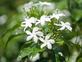 50Pcs Jasmine Flower Seeds Fragrant Garden Plant Seed Wedding Party Decor Beamy