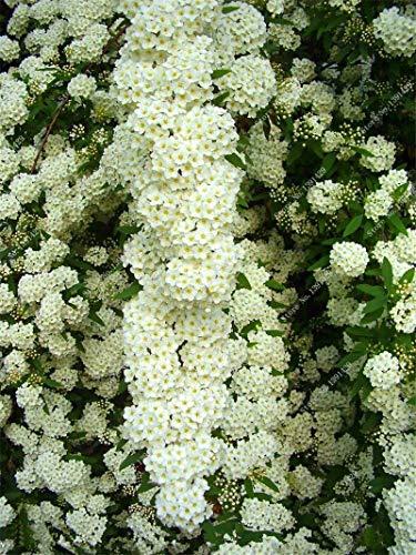 Bonsai Spiraea Japonica Samen Mehrjährige Blume Pflanze DIY Hausgarten Blühende Pflanzen Baum Sämling Samen Einfach Wachsen 20 Stücke