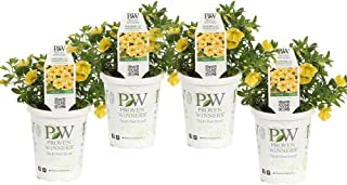 Superbells Lemon Slice (Calibrachoa) Live Plant, Yellow and White Flowers, 4.25 in. Grande, 4-pack
