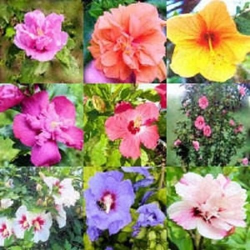 100 Mixed Colors Rose of Sharon Hibiscus Syriacus Flower Tree Bush Shrub Seeds MixComb S/H by
