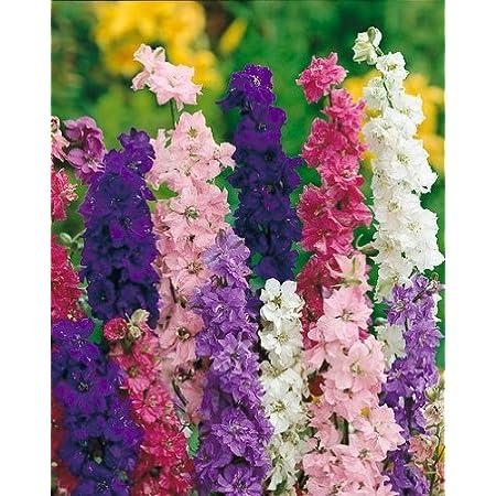 Original Package 30 Larkspur Seeds Delphinium Consolida Consolida Ajacis A212