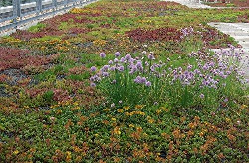 10000 graines fraîches - Sedum Roof Garden Couvre-sol Seed Mix