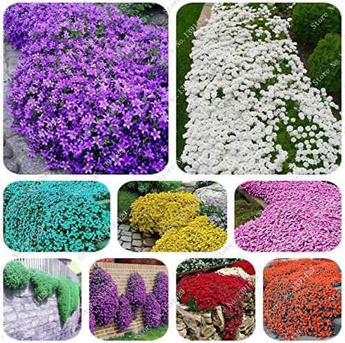 Gemischt: 200 Creeping Thymian Samen Blumensamen Rock Cress Bodendecker Samen Teppich Immergrüne Pflanze Einfach für Gartenrasen zu züchten