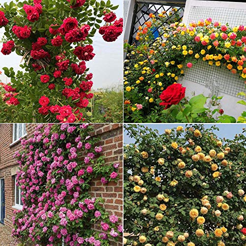 Climbing Roses Fragrant Vine Climber Plant Seeds 100 PCS (Mixed Color)