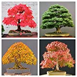 National Gardens Combo Maple Tree Seeds (Bonsai Suitable)