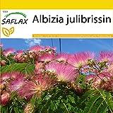 SAFLAX - Set de cultivo - Acacia de Constantinopla - 50 semillas - Con mini-invernadero, sustrato de cultivo y 2 maceteros - Albizia julibrissin