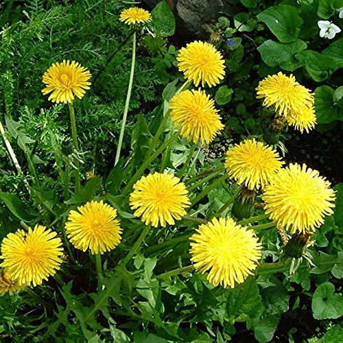 XINDUO Blumensamen winterhart mehrjährig,Pflanzen von Löwenzahnsamen in Vier Jahreszeiten - 0,5 kg,Blumensamen für Garten Balkon