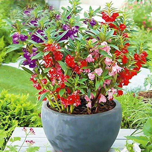Pflegeleichte und einfach zu züchtende Pflanzen Henna-Blume Henna-Blumensamen 300 Kapseln-ausgezeichnet_Camellia Impatiens 200 Kapseln