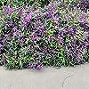 Portal Cool Happy Semi Wanderer Hardenbergia Violacea Fioritura scalatore Bulk 60 Seed Confezione #1