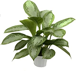 Silver Bay Chinese Evergreen Plant - Aglaonema - Low Light - 4