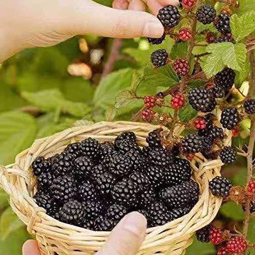 50 Pcs Wild BlackBerry Seeds, Black Berry Bonsai Plants Garden Fruit Seeds