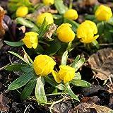 40 Zwiebeln Eranthis hyemalis. Winterlinge gelb .Größe 4/5. - zu dem Artikel bekommen Sie gratis ein Paar Handschuhe für die Gartenarbeit dazu