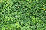 Mühlan - 7 Bund/Portionen Pfennigkraut für den Gartenteich, Sauerstoffpflanzen für den Teich, winterharte Pflanzen