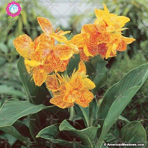 10 pcs couleurs mélangées Canna Lily Graines Belle Bonsai Graines de fleurs Feuillage Magnifique vivace Plante en pot pour jardin 8