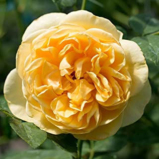 Own-Root One Gallon Graham Thomas David Austin Rose by Heirloom Roses