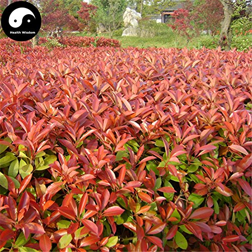 Semillas Comprar Photinia serrulata árbol 200pcs Planta Red Robin para Heather Shi Nan