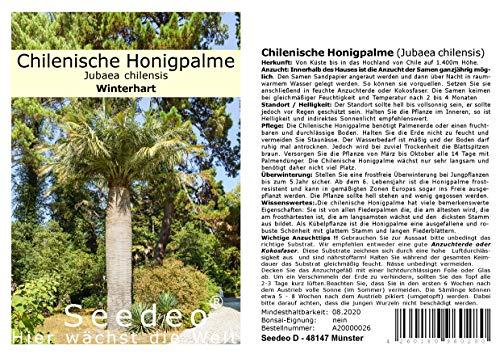 Seedeo Chilenische Honigpalme (Jubaea chilensis) 3 Samen