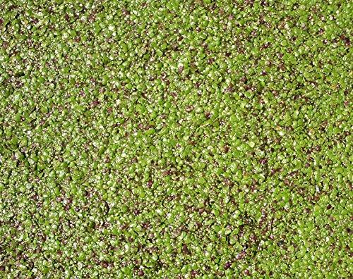 Haus&Garten Wasserlinse/Wasserlinsen sehr große Portion 40x40cm Entengrütze ideale Teichpflanze