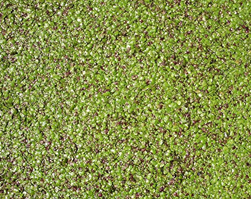 Haus&Garten Wasserlinse/Wasserlinsen sehr große Portion 30x30 cm Entengrütze