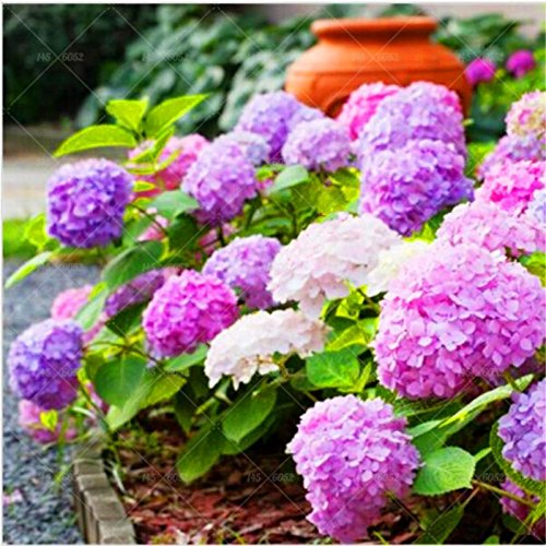 10pcs rares graines hortensia bleu fleurs, graines hortensia Couleurs mélangées semences Décorée Jardin Plantes Bonsai Fort Viburnum hortensias 6