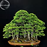 Solution Seeds Farm Rare Hierloom Bonsai Metasequoia Dawn Redwood Evergreen Ornamental Plants (SEEDS) Not Plants, 50 Seeds, potted indoor office purify the air