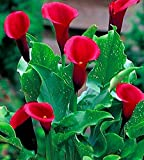 3 Pieces Majestic Red Calla Lily Bulb Long Lasting Blooms