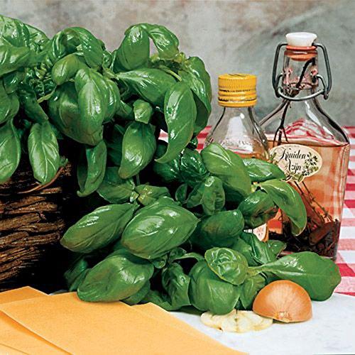 200 grandes feuilles de basilic Graines aromatiques Graines, 90% + Germination Jardin des plantes Bonsai