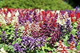 100+ Palisades Mix Salvia Seeds Blue Sage Painted Horminum Sage Flower