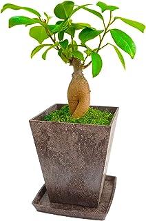 ガジュマルおしゃれな和風デザイン がじゅまる 盆栽 苔 コケ 和風 観葉植物 観葉植物おしゃれ 室内用 多幸の木 誕生日用 花言葉 健康