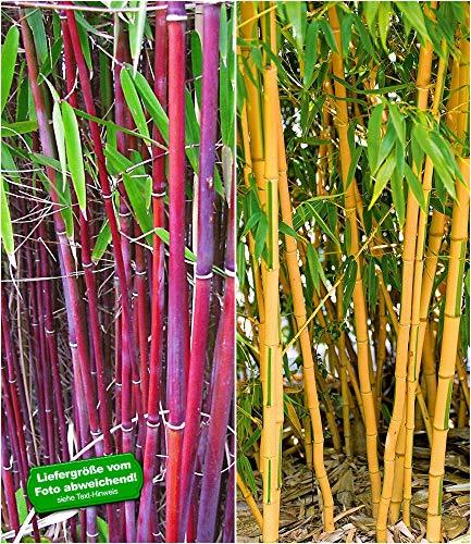 BALDUR Garten Bambus-Raritäten Kollektion, 2 Pflanzen Roter Bambus Chinese Wonder Fargesia jiuzhaigou No.1 und Goldener Peking Bambus Phyllostachys aureosulcata aureocaulis