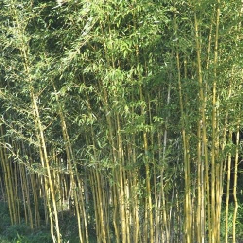 100+ graines de bambou Phyllostachys jaune aureosulcata USA vendeur d'or en bambou