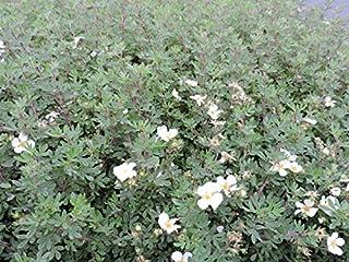 10 Stk Fingerstrauch fruticsa Goldfinger - Potentilla fruticosa Goldfinger - Topfware 20-30 cm