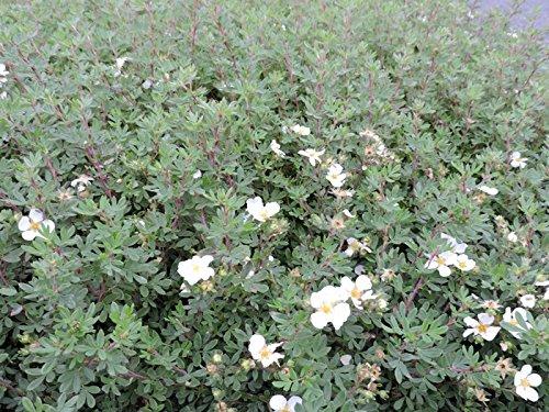 10 Stk Fingerstrauch 'Abbotswood' - (Potentilla fruticosa 'Abbotswood')- Topfware 20 - 30 cm