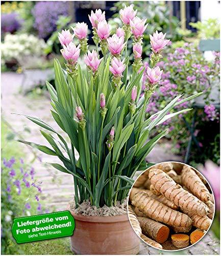 BALDUR-Garten Kurkuma-Pflanze Curcuma Longa,1 Pflanze Gelbwurz, Ingwergewächs
