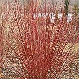Arctic Fire Cornus stolonifera- Farrow - Redtwig Dogwood -Proven Winner-4' Pot