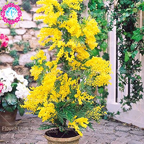 50PCS oro Mimosa Semi Belle semi di acacia Baileyana giallo mimosa fiori perenne Bonsai pianta aromatica per il giardino