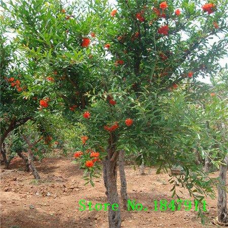 vente Big 20pcs / lot, bonsaï grenade graines délicieuses graines de fruits très sucrés, les graines de plantes grasses d'arbres