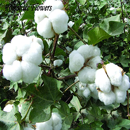 Las semillas del jardín de DIY Planta de algodón blanco Gossypium envío 30 partículas / Bolsa: Amazon.es: Jardín
