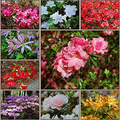 HONIC Grün: 100 Teilchen/Bag 2018 Rhododendron Samen Samen eingetopft Azalee Tree