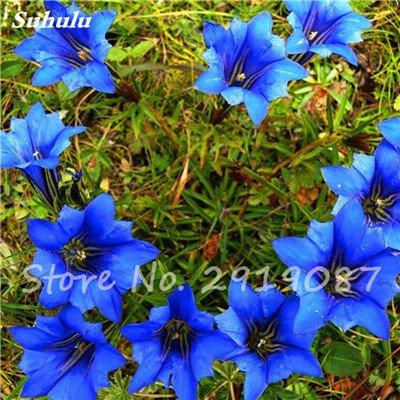 De haute qualité bonsaïs 100 Pcs Largeleaf gentiane Graines vivace Fleur bleue Graine Blooming Plantes Diy jardin Ménage 5
