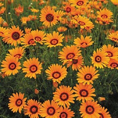 Sonnenbraut Autumnale- (Helenium Autumnale) - 50 Samen
