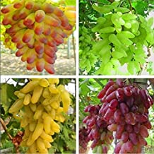 Best muscadine grape seeds for sale Reviews