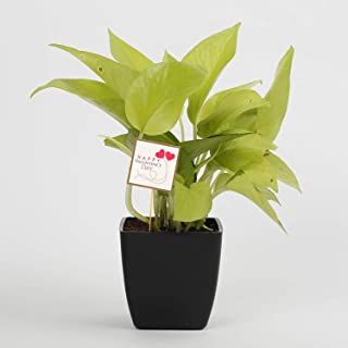 Ferns N Petals Air Purifying Golden Lucky Money Plant with Valentine Day Tag |Christmas Gift | Valentines Gift | Happy Year Gift