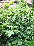 winterharte eßbare Feige, Ficus carica Brown Turkey 30-40 cm hoch im 3 Liter Pflanzcontainer